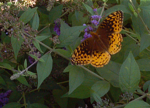 Photo of a great spangled fritillary butterfly on a flower (Speyeria cybele)