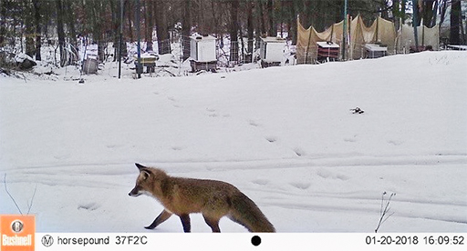 Photo of a fox walking in a snowy landscape