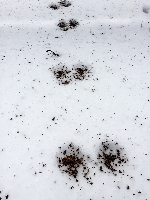 Photo of the seed-filled tracks of a small bounding animal in snow. Photo Beth Herr
