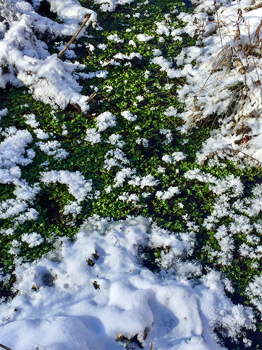 Photo of pond weed in a seep-fed pool, green while surrounded by snow