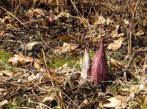 Photo of early skunk cabbage flower in The Great Swamp