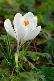Photo of a crocus in full bloom
