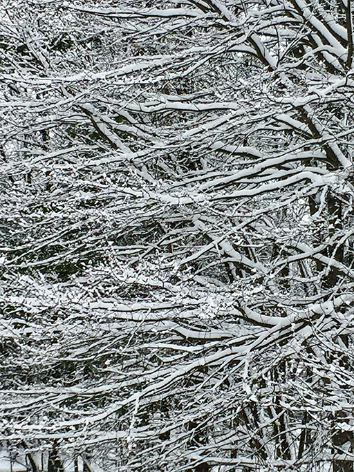 Photo of dense thicket of horizontal branches covered with snow