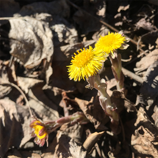 Photo of coltsfoot (Tussilago farfara) in blossom