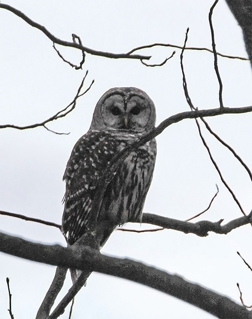Photo of a barred owl perched on a tree branch looking directly at the photographer