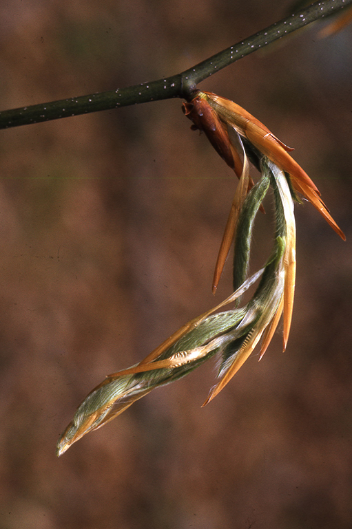 Close-up photo of an American beech leaf-bud in the process of openeing up