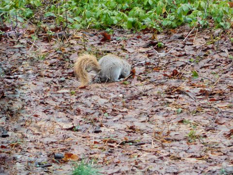Photo of an American red squirrel (Tamiasciurus hudsonicus) digging in leaf litter.