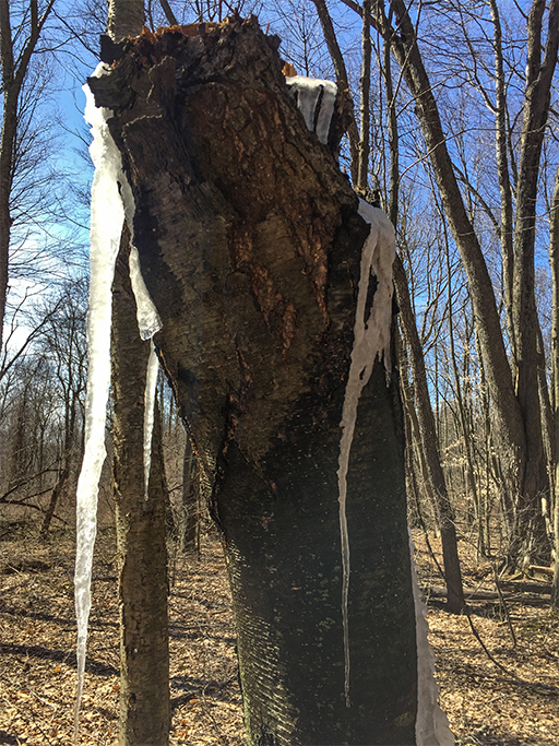 Photo of a black birch tree stump snapped off several feet from the ground in a winter storm, now oozing sap icicles.