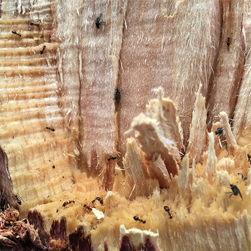 Photo of a variety if insects dining on sap oozing from a wind-snapped tree stump