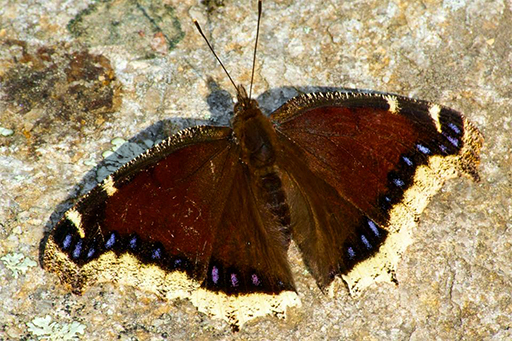 Photo of a mourning cloak butterfly (Nymphalis antiopa) sunning itself on a rock