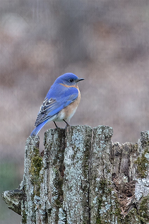 Photo of an eastern bluebird perched on a broken log-post