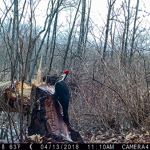 Trailcam photo of s piliated woodpecker (Dryocopus pileatus) on a tree stump feeding on sap-loving insects