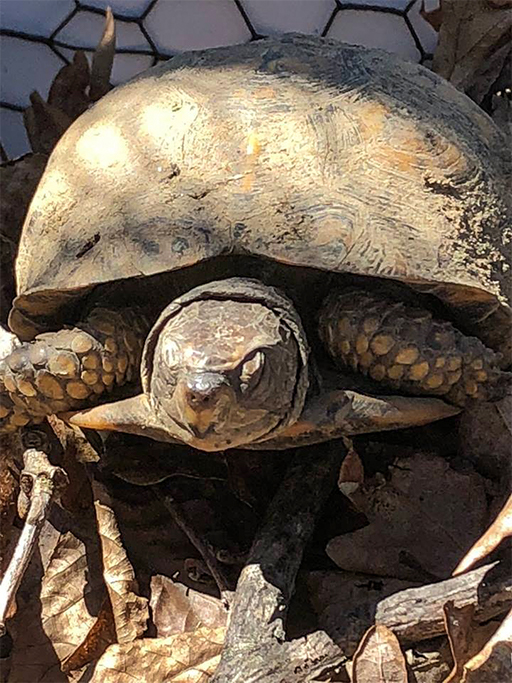 Photo of an eastern box turtle (Terrapene carolina carolina) just emerging from hibernation