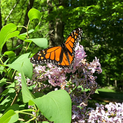 Photo of a monarch butterfly (Danaus plexippus) on blooming lilacs