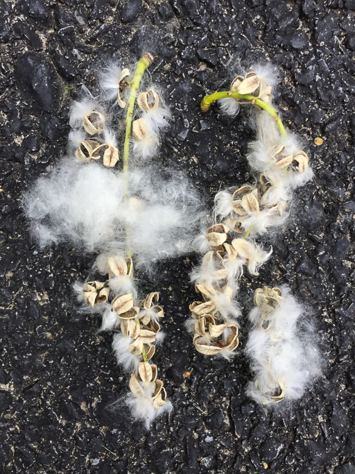 Photo of sprigs of cottonwood seeds with the seed pods split open and the fluff showing