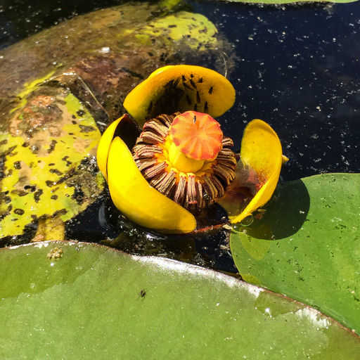 Photo of Spadderdock (Nuphar advena) in bloom