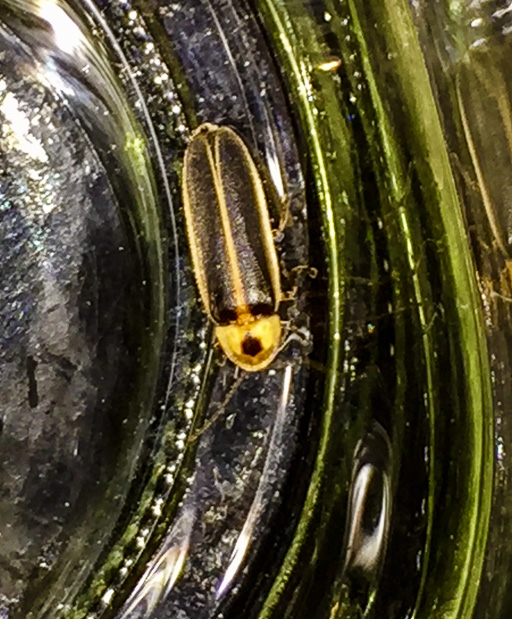 Photo of a male common eastern firefly (Photinus pyralis) in a jar