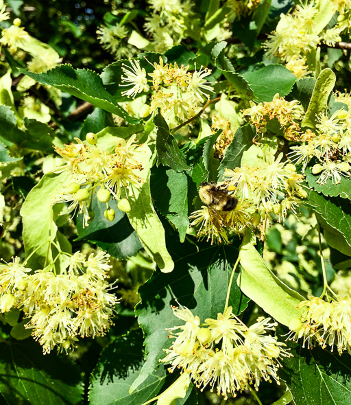 Photo of an American Basswood tree in bloom with a bumble bee on a blossom