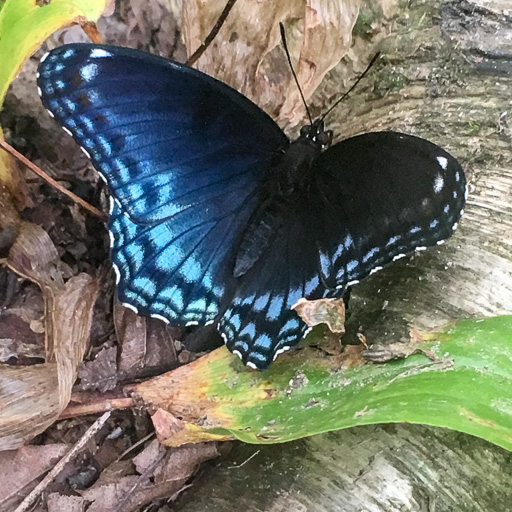 Red-spotted purple butterfly wings open to show their purple side