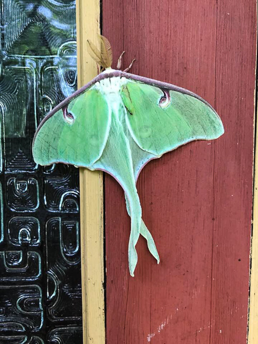 Photo of a luna moth (Actias luna) resting on a door