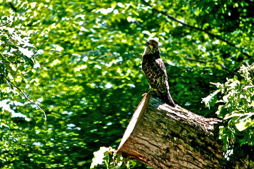 Photo of a red-shouldered hawk perched on a tipped-over tree stump