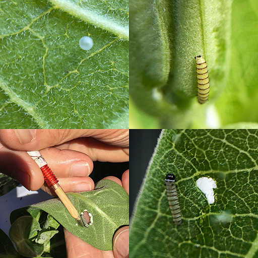 Composite photo showing monarch butterfly egg, newly hatched caterpillar, transfer to new leaf, and in its new home