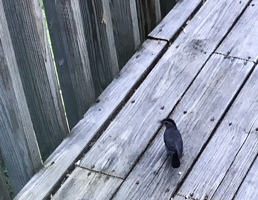 Photo of a gray catbird (Dumetella carolinensis) on a gray wooden deck