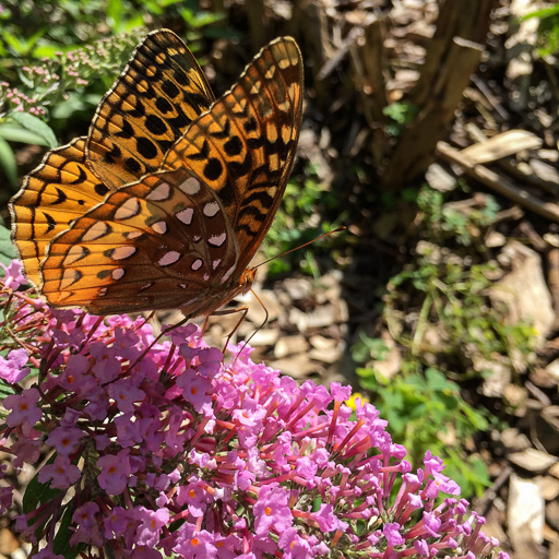 Photo of a great spangled fritillary (Speyeria cybele) perched on flowers